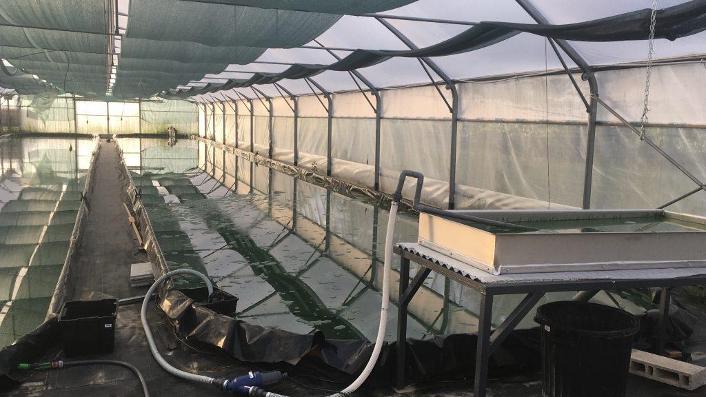 spiruline vendée, production de la spiruline artisanale paysanne