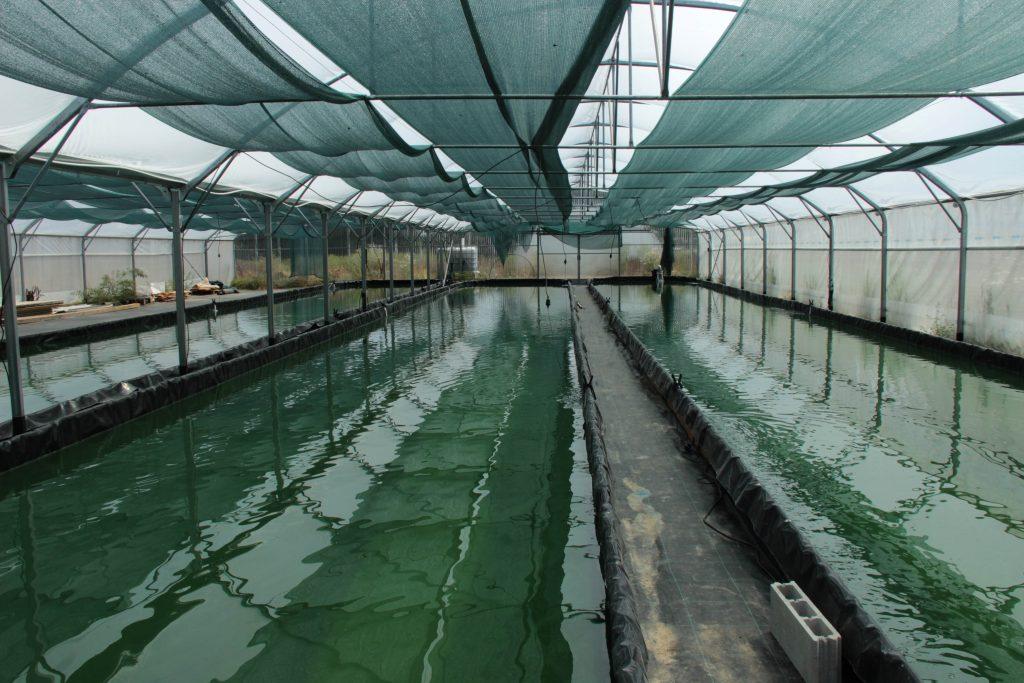 bassin sous serre servant a la culture de la spiruline