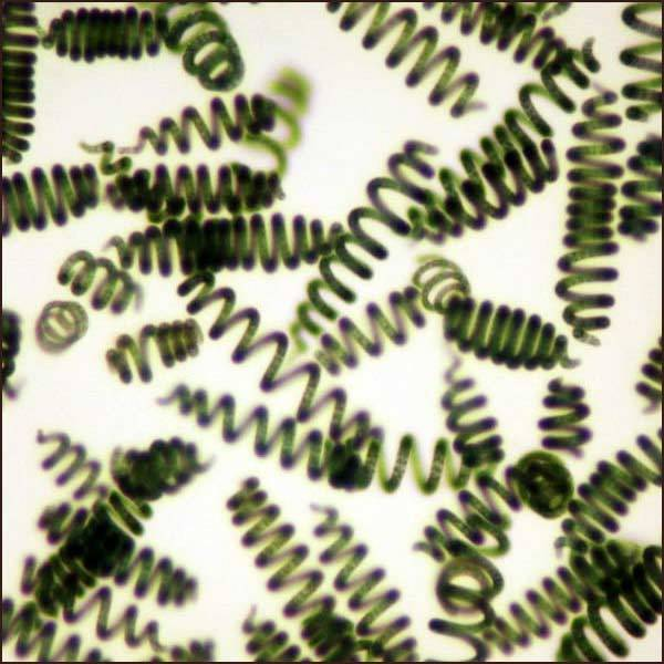 spiruline-microscope-spirales-qualite-controle-nutrition